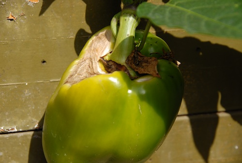 Bell pepper with sunscald.