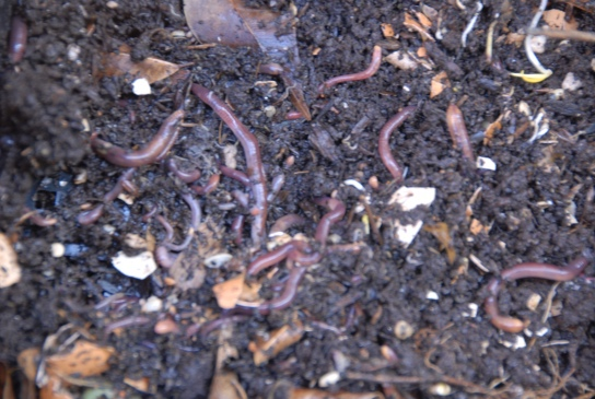 Healthy worms in compost bin.