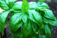 Post image for How to Grow Basil in Winter