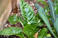 Post image for Swiss Chard and Aphids: Part II &#8211; Cut It Back!