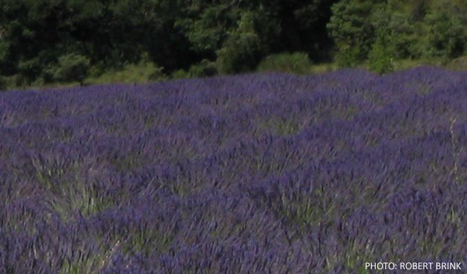 UrbanFig: Lavender Field