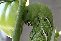 Post image for Tomato Pest Control: Natural and Organic Options