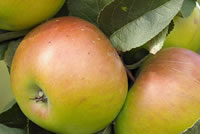 UrbanFig: How to Grow Apple Trees