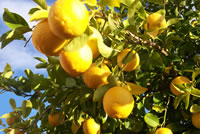 URbanFig: How to Grow a Lemon Tree