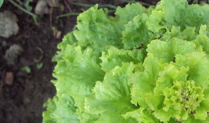 leaf_lettuce