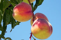 UrbanFig: Peach Tree