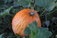 UrbanFig: Pumpkins