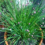 Urbanfig: Chives