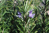 Urban Fig: Rosemary