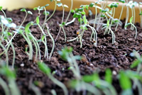 UrbanFig: Thinning Seedlings