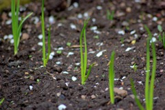 spring_onion_row