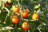 UrbanFig: Tomatoes on the Vine