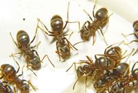 UrbanFig: Ants