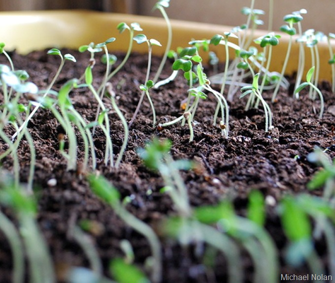 UrbanFig: Seedlings