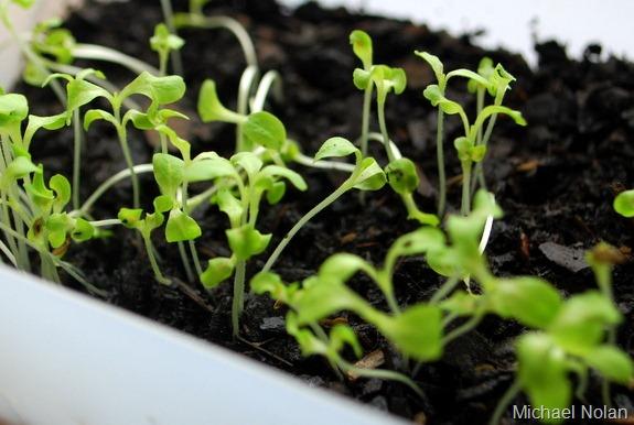 lettuce3_thumb.jpg