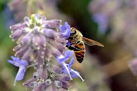 UrbanFig: Pollinators