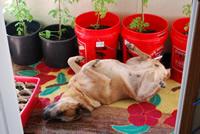 UrbanFig: Growing Tomatoes Indoors