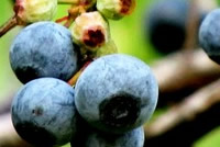 UrbanFig: How to Grow Blueberries in Containers