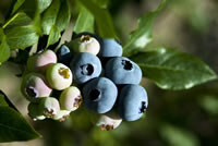 UrbanFig: Where to Grow Blueberries