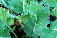 UrbanFig: Kale