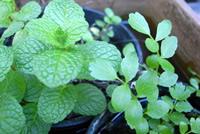 UrbanFig: Cleansing Herbs