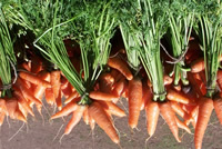 UrbanFig: Carrots