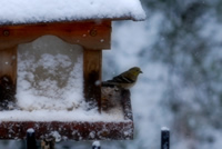 UrbanFig: A Bird in February Snow