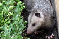 UrbanFig: Opossum